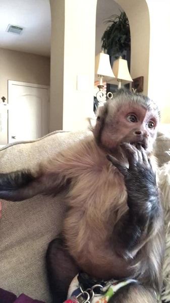 George the monkey TikTok : Who Is George The Monkey Owner On TikTok? Age, Species & Story